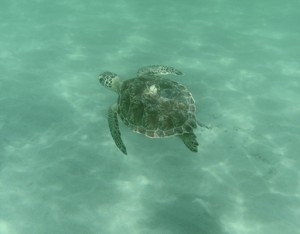 Loggerhead Turtle while snorkling at Coral Cove on Jupiter Island